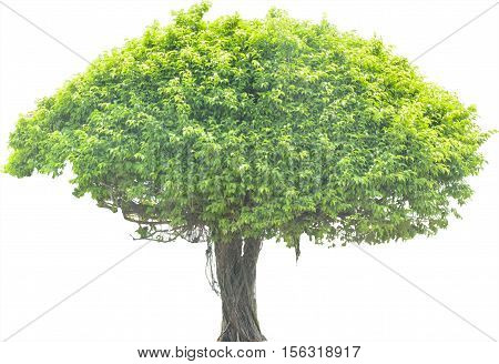 Green beautiful and big tree isolate on white background.