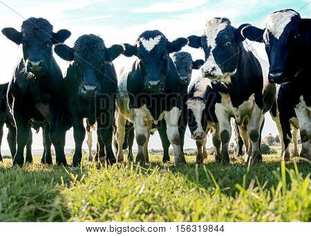 Group of un-tag agriculture organic cowsclose up black and white in a green grass field shot at ground level with them looking into the camera. Copy space at bottom of the image