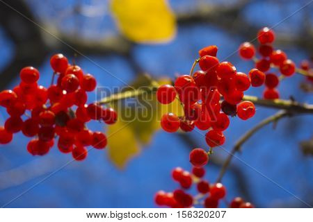 red wild berries on a tree against a blue sky