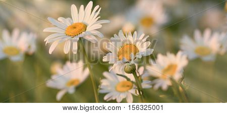 Beautiful spring daisy flower in meadow - daisy flower illuminated by sun beams