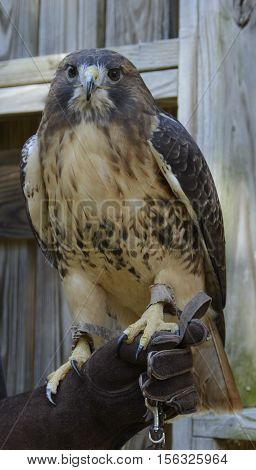 A Red-Tailed Hawk (Buteo jamaicensis) perched on a trainers glove, shown in frontal view.