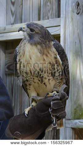A Red-Tailed Hawk (Buteo jamaicensis) shown in left profile while being held by its trainer.
