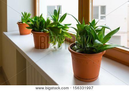 Three sansevieriya stand on the windowsill in room