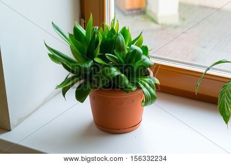 sansevieriya stand on the windowsill in room