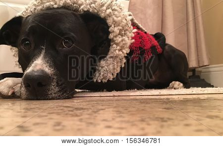 Christmas Dog Waiting for Santa in Red Holiday sweater  Laying down with puppy dog eyes