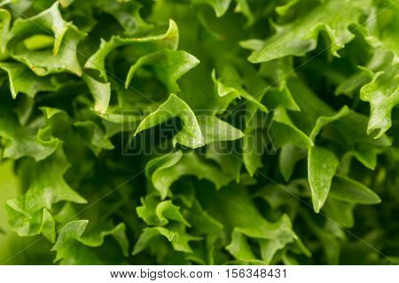 Fresh Lettuce Texture