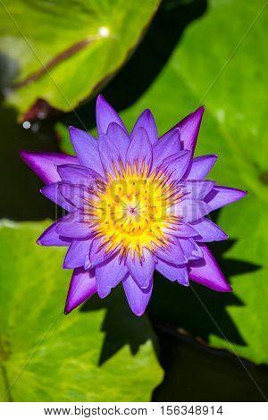 Beautiful Egyptian water lily (Nymphaea caerulea) close-up