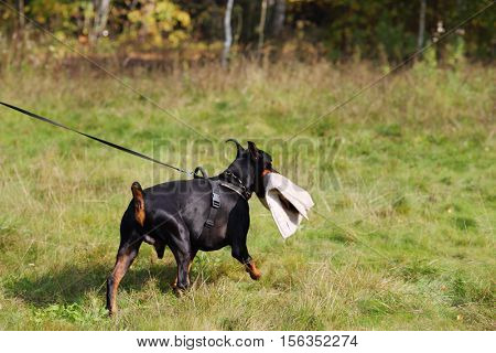 Doberman Pinscher on leash goes on green grass with protective pad