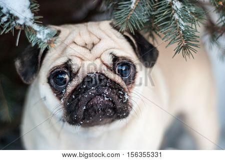 Under the tree. Pug in snow. Muzzle pug.