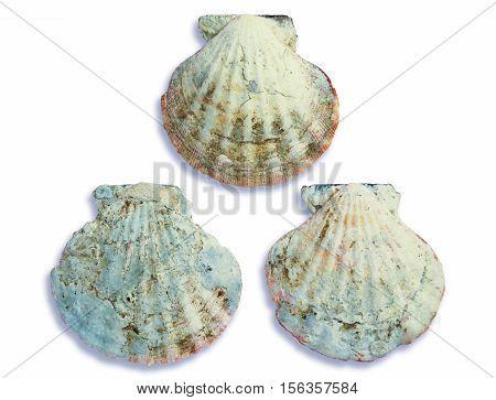 Group of pale grey seashells on white background