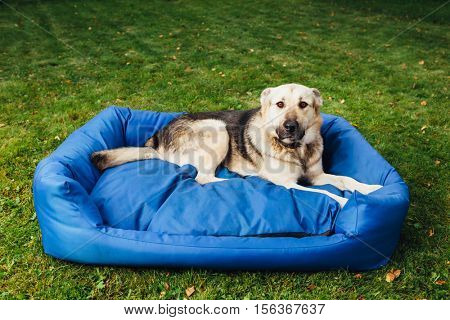 guilty dog on his bed, green grass background