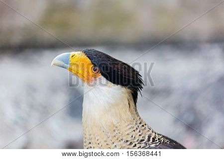 A tropical version of a vulture, the Crested Caracara reaches the United States only in Arizona, Texas, and Florida. It is a bird of open country, where it often is seen at carrion with vultures.