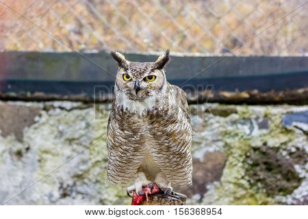 The great horned, also known as the tiger or the hoot  owl, is a large bird native to the Americas. It is an extremely adaptable bird with a vast range and is a common  true one in the Americas