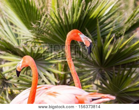 Flamingos or flamingoes are a type of wading bird. These shots were taken in Mexico where they can be seen wading and sifting through the water feeding on shrimps and other insects.