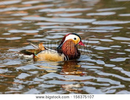 The mandarin duck is a perching duck species found in East Asia. It is medium-sized, at about fourteen inches  long. It is closely related to the North American wood duck, the only other member.