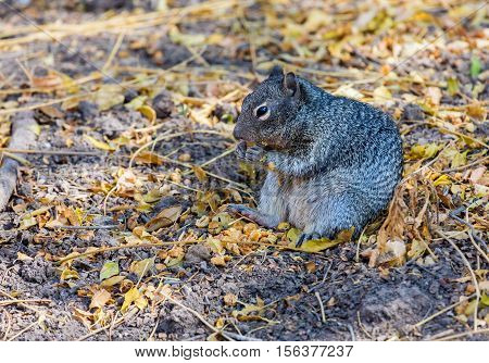 The Mexican gray squirrel is a tree squirrel in the genus Sciurus endemic to Guatemala and in eastern and southern Mexico, and is an introduced species in the Florida Keys, Cuba and Jamaica.