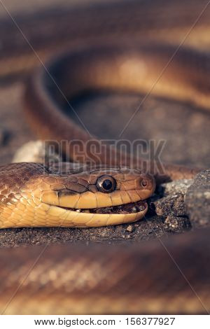 Brown snake with head and eye wild long legless reptile with scaly skin crawls on asphalt road