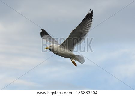 Seagull flying with open wings in blue sky.