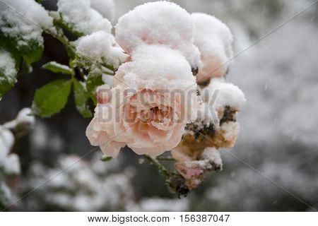 Last pink roses full of snow frozen in the winter garden selective focus narrow depth of field