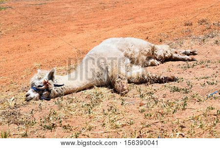 Lama, Alpaca, Alpaka, nap, dozing, sleeping, leing down, lama, Australia, red, earth, beige
