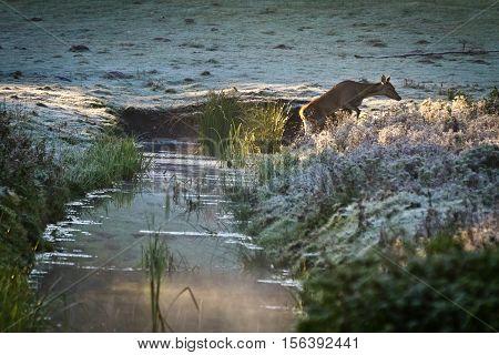Female Elk Walking Through The River At Frozen Meadow