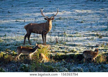 Deer And Herd Of Elk Looking At The Sunrise On The Frozen Meadow
