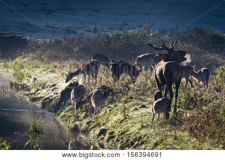 Roaring Deer With Herd Standing Near The River On The Meadow At Sunrise