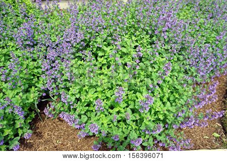 Dwarf catmint plants (Nepeta racemosa), also called raceme catnip, in a garden in Joliet Illinois during May.