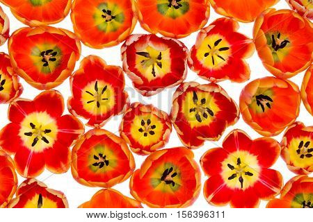 Vibrant variegated orange and yellow spring tulips in a full frame botanical or nature background viewed from above looking down into the centers isolated on white