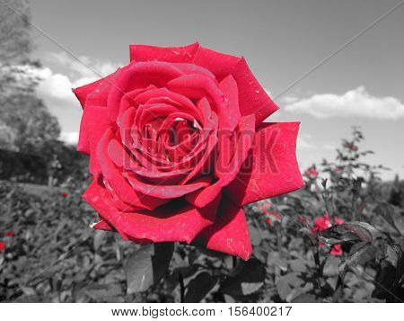 Red Rose with Black and White Background