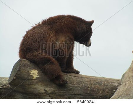 Brown Bear resting on a tree log