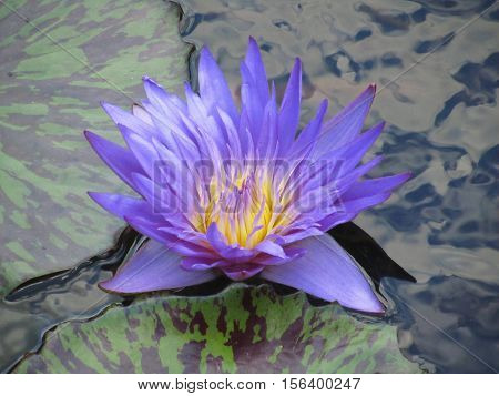 purple water lily Nymphaea nouchali in a pond