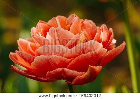 Big blown beautiful flower bud tulip. Close-up