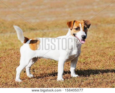 Standing Jack Russell terrier dog summer outdoor portrait over blurry background