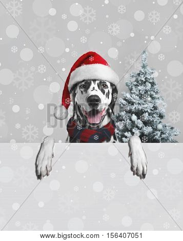 Christmas card. Black white dalmatian dog in Christmas hat of Santa Claus. Dog Paws hang. Christmas snowflakes on Dalmatian dog. Behind dog Christmas fir-tree snow. Place for text poster. Blank space.
