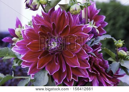 Close up of a vibrant burgundy purple/mauve Dahlia, with leaves and new buds in the frame shot in Montreal, Quebec on a slightly overcast but bright day in October.