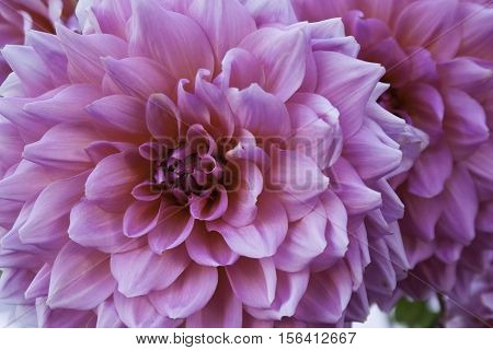 Close up of a vibrant pink and mauve Dahlia, petals fill the frame, shot in Montreal, Quebec on a slightly overcast but bright day in October.