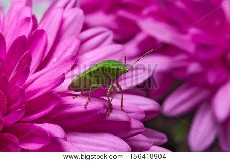 Green shield bug (Palomena prasina) on purple flowers