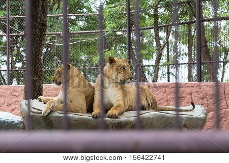 Cage of two lioness in the zoo