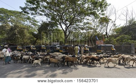 Kalyan,Maharashtra,India - November 12, 2016: Shepherd moving through road traffic with his herd of goats and lambs