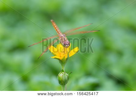 Dragonfly On A Little Yellow Star Flower In Garden