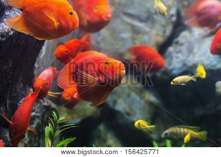 Blood Parrot Cichlid Well Known As Bloody Parrot And Blood Parrot Fish.
