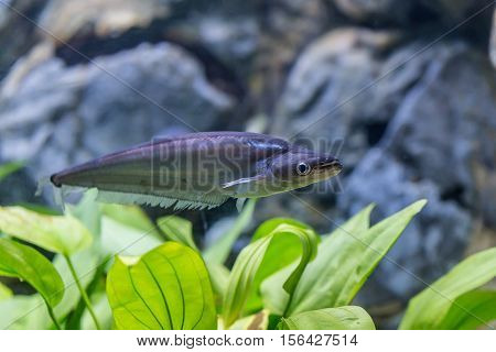 Phalacronotus apogon sheatfish in aquarium with alga