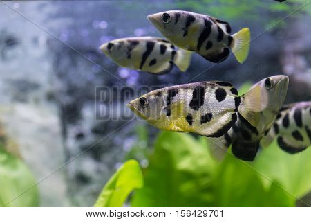 Malawi Cichlid fish with grass in aquarium