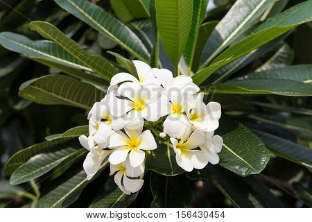 Bunch of plumeria or frangipani blossom on the plumeria tree