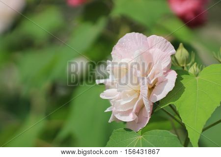 Confederate rose or Dixie rosemallow or the cotton rosemallow flower