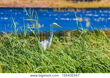 Great White Egret in the tall grass. Zambezi River. The concept of extreme and exotic tourism. Chobe National Park , Botswana