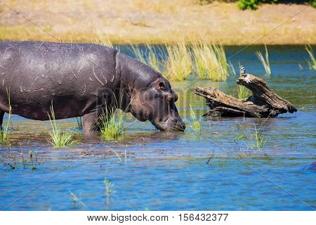 Close hippopotamus shallow near shore of the river. The concept of extreme and exotic tourism in Okavango Delta, Chobe National Park, Botswana