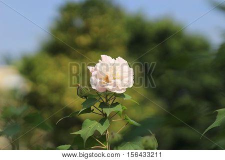 Beautiful Violet Hibiscus In Autumn Garden