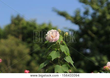 The Confederate Rose ; Hibiscus Mutabilis
